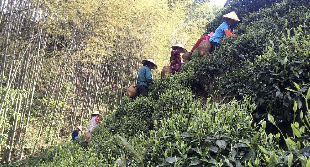 Anhui teás régió és a Huangshan íze